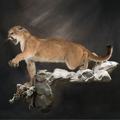 Defensive puma taxidermy