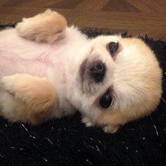 おやすみなさい | ころん(チワワ) | パシャっとmyペット #chihuahua