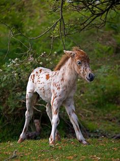 Leopard Appaloosa I love horses Pretty Horses, Horse Love, Beautiful Horses, Animals Beautiful, Caballos Appaloosa, Appaloosa Horses, Horse Pictures, Animal Pictures, Cute Baby Animals