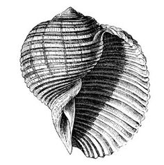 Vintage clip art - seashells
