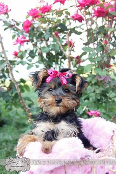 My Yorkie puppy Lily for her first photoshoot! Isn't she the cutest little thing with her little bow in her hair? Tiffany Vela Photography