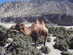 Hunder bacterian camel