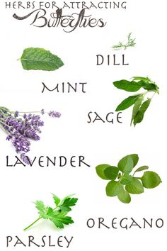 Herbs that attract butterflies: Dill, Mint, Parsley, Sage, Lavender & Oregano