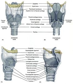 framework of larynx