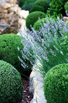 Rosemary and Lavender - Love the way this contrasts with the bright green.
