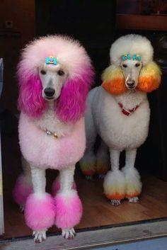 -Repinned- Creative grooming. Poodles.