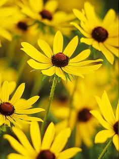 Black-eyed Susan - one of the drought tolerant plants recommended.