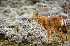 Ethiopian Wolf - Ethiopian (Simien) wolf. Bale Mountains National Park. Ethiopia.