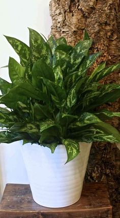 10 Best Low-Maintenance Houseplants (Pictured: Chinese Evergreen)