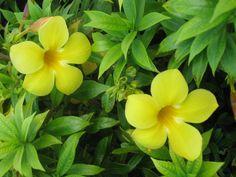 Beautiful yellow flowers in Grand Turk