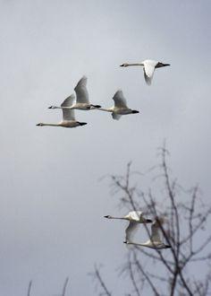 Swans flying overhead.