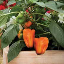 """Sweet Pompeii Pepper Plant - Two (2) Live Plants - Not Seeds -Each 4""""-7"""" Tall- In 3.5 Inch Pots. #pompeii #plant"""