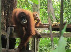 Maza colina Orangutanes Medan, Animals, Jakarta, Orangutans, Continents, Animales, Animaux, Animal, Animais