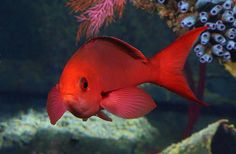 The vibrantly-colored creole fish is our Animal of the Week! @National Aquarium