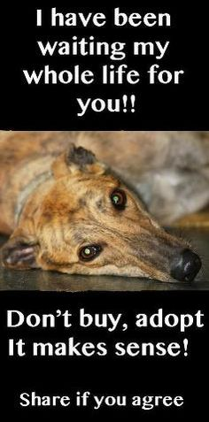 Greyhounds have a very gentle nature and are ideal family pets. They are such deserving dogs and you will not regret adopting one Cane Corso, Sphynx, Rescue Dogs, Animal Rescue, Shelter Dogs, Animal Shelter, Beautiful Creatures, Animals Beautiful, Rottweiler