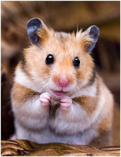 Hamster's invisible cookie pose