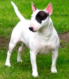 """The Pit Bull Terriers have had a bad name and it seems that every other week we hear a """"baby mauled by a pit bull"""" story. Pitbull Terrier, Mini Bull Terriers, Airedale Terrier, Chien Bull Terrier, Miniature Bull Terrier, English Bull Terriers, Terrier Dogs, Boston Terrier, Border Terrier"""