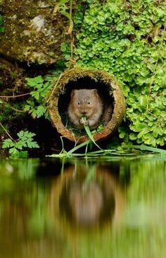 water vole in Kent