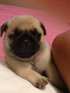 Pug baby real