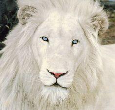 Beautiful white lion!