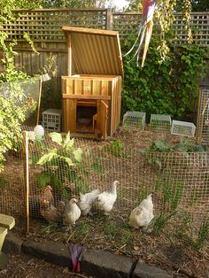 Veggie patch and chooks