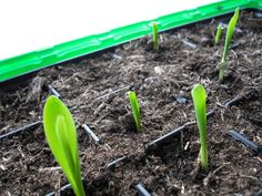 Come coltivare un semenzaio