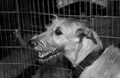 Dog Show: Irish Wolfhound Irish Wolfhounds, World Map App, Dog Show, Puppet, Galleries, Dogs, Photos, Animals, Collection