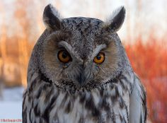 Tomorrow it`s going to Ranua Zoo. Long Eared Owl, Beautiful Owl, Art Images, Bird, Mysterious, Finland, Animals, Owls, Animales
