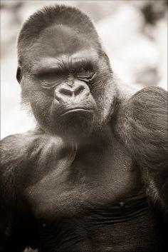 L'homme, le singe et le langage Publié le 23 juillet 2014 dans Sciences et technologies Le langage articulé qui rend la communication humaine possible nous différencie radicalement de nos cousins les singes.