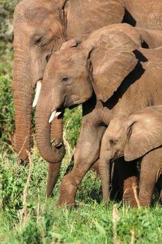 Elephant Family in Kidepo Valley NP, Uganda