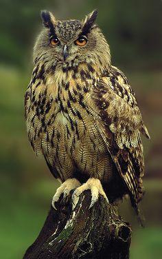 "wowtastic-nature: "" 💙 Eagle Owl on by Ronald Coulter, aylesbury, UK ☀ "" Beautiful Owl, Animals Beautiful, Cute Animals, Owl Photos, Owl Pictures, Owl Bird, Pet Birds, Eurasian Eagle Owl, Long Eared Owl"