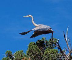 Great Blue Heron of the Rio Grande.......... http://britt-runyon.artistwebsites.com/index.html