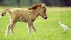 Caballo Falabella, mi próximo pequeño pony