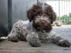 Lagotto Romagnolo Puppy Ugo