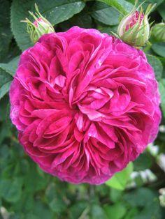 My own Rose.