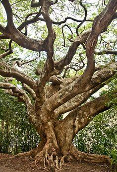 Ancient tree in Brisbane, Australia • photo: Roberto Portolese on Flickr