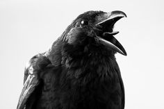Find Crow Studio stock images in HD and millions of other royalty-free stock photos, illustrations and vectors in the Shutterstock collection. Thousands of new, high-quality pictures added every day. Escorpion Tattoo, Group Of Crows, Crow Images, The Crow, American Crow, Raven Art, Crow Art, Raven Feather, Crows Ravens