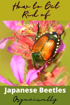 Japanese beetles can do serious damage to your orchard and garden, but how can you get rid of them without chemicals? I've got your answer! We literally had swarms of japanese beetles every year and got rid of them in just one application! Check out how we did it! #getridofjapanesebeetles #howtogetridofjapanesebeetles Gardening Hacks, Gardening For Beginners, Container Gardening, Sustainable Gardening, Organic Gardening Tips, Garden Plants Vegetable, Garden Pests, Getting Rid Of Raccoons, Plants That Repel Bugs