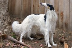 trendy dogs and puppies breeds irish wolfhounds Beautiful Dogs, Animals Beautiful, Cute Animals, Cute Dogs Breeds, Puppy Breeds, Borzoi Dog, Whippets, Russian Wolfhound, Belle Photo