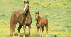 Passo a passo de como desenhar um cavalo Árabe. Uma raça específica de cavalos usados para trabalhos com resistência e competições. Apesar de algumas características como vértebras e costelas, serem um pouco menor que a média de cavalos, os Árabes tendem a desenvolver muito mais os músculos. Desenhar uma figura de um cavalo Árabe não precisa ser difícil, independente da experiência que você ...