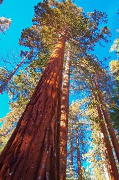 You can't help but continually look up - Mariposa Grove, Yosemite National Park