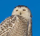 By Daniel Modern #snowOwl #owl #safarious