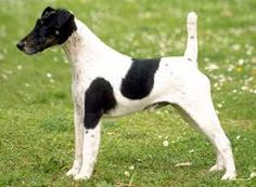 ... Smooth Fox Terrier on Pinterest | Smooth fox terriers, Fox terriers Smooth Fox Terrier South Africa