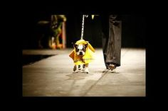 Obsessed. Dogs walked the runway at the Washington Humane Society fashion show.