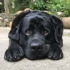"""Awesome """"Labrador retriever puppies"""" detail is offered on our web pages. Black Lab Puppies, Cute Puppies, Dogs And Puppies, Cute Dogs, Doggies, Labrador Retriever, Retriever Puppies, Bull Terriers, Husky Corgi"""