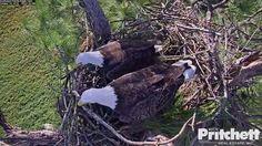 Harriet & M working the nest.  10/2016  SWFL Eagle Cam