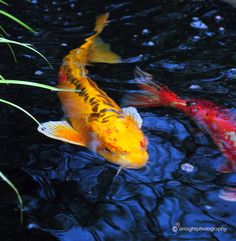 1000 images about the buffalo botanical gardens on for Koi new york