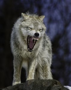 "500px / Photo ""Angry like the Wolf"" by Daniel Parent"