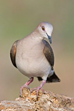 White-tipped Dove Listed as:  Rare in Florida
