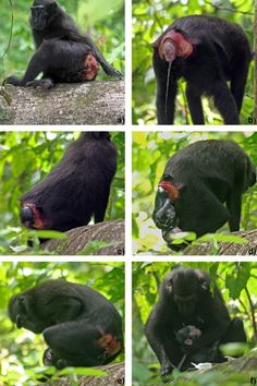 Amazing! These photos are included in an article of 2008 and show the first direct and documented observation of a daytime birth of a wild baby crested black macaque, Macaca nigra, in the Tangkoko Batuangus Nature Reserve, North Sulawesi, Indonesia. Copyright © 2008 Elsevier B.V.